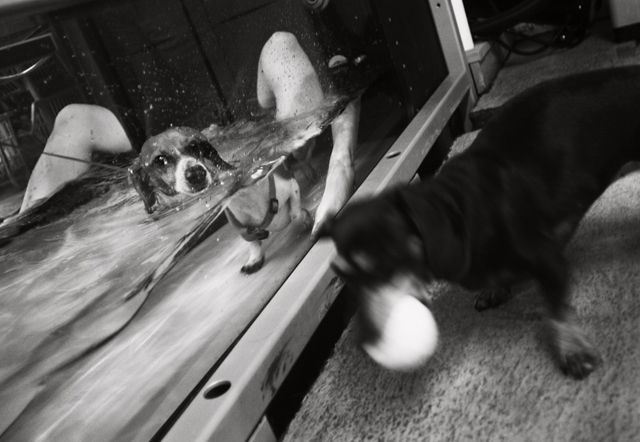 dog with back injury and paralyzed hind legs, exercising on a water treadmill in Water4Dogs, canine rehabilitation center in Downtown Manhattan