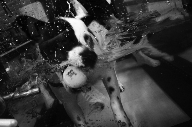 dog Shorty on her daily conditioning exercise in the treadmill of Water4Dogs, Manhattan canine rehabilitation center