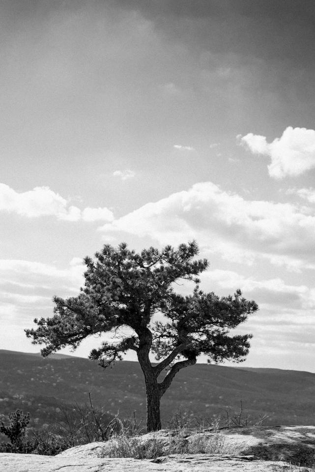 A tree on Bear mountain on November 13, 2015. ©Leda Costa